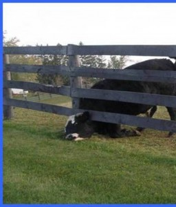 Cow in Fence 1
