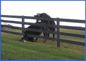 Cow in Fence 2